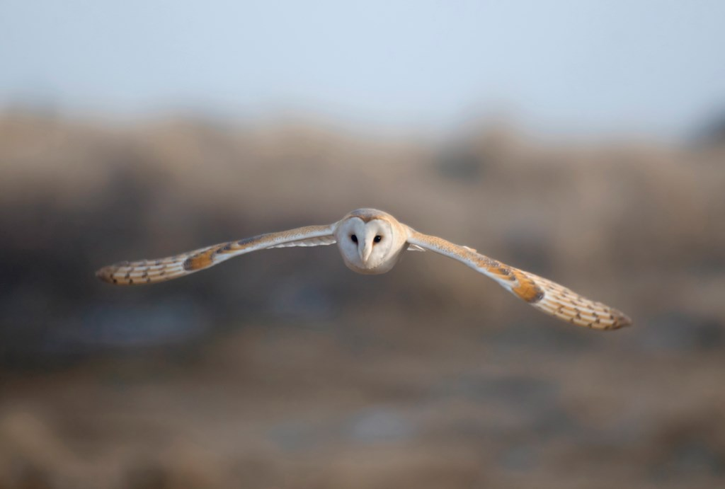 Barn Owl | South Downs Farmland Bird