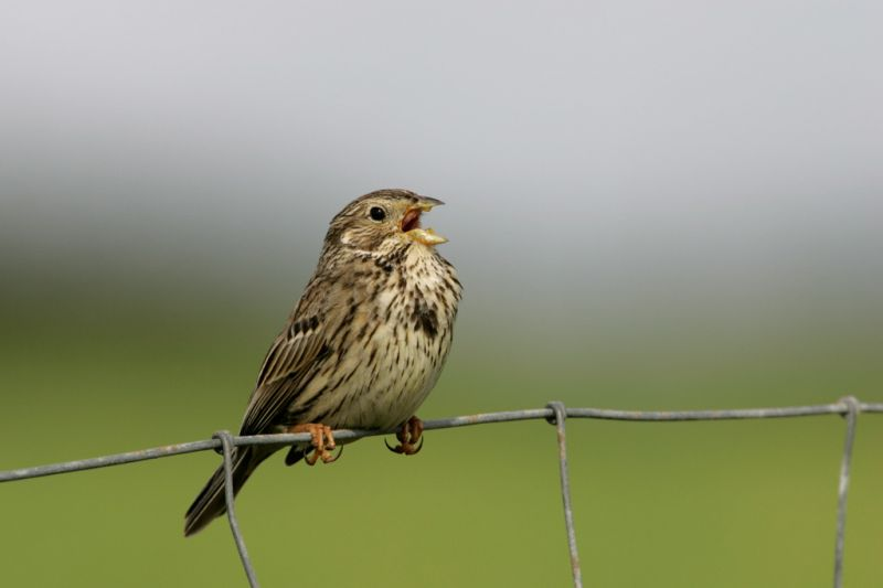 Corn Bunting | South Downs Farmland Bird