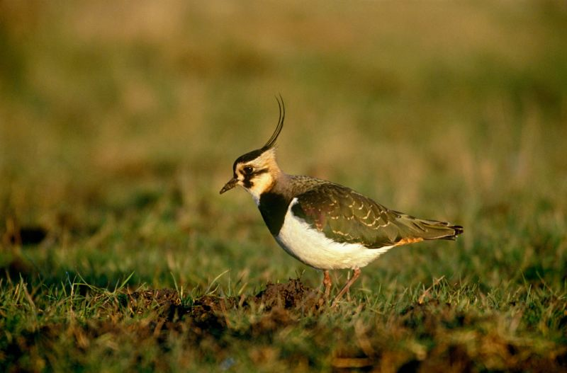 Lapwing | South Downs Farmland Bird