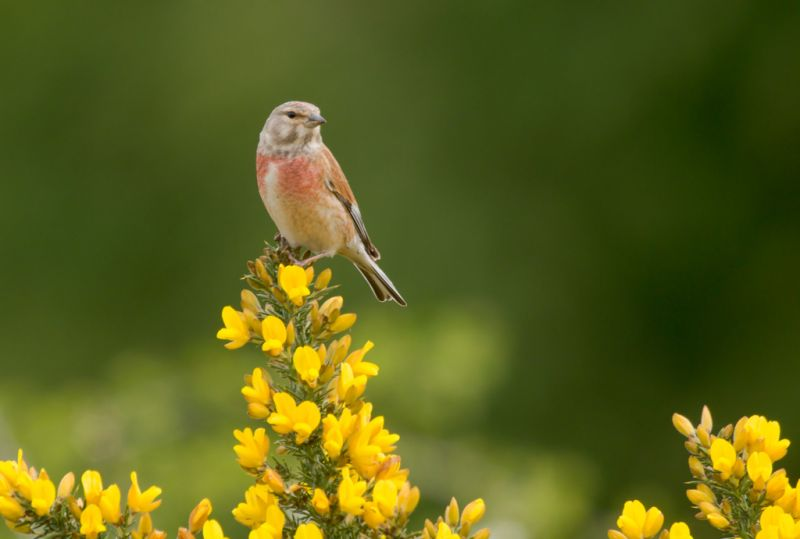 Linnet | South Downs Farmland Bird
