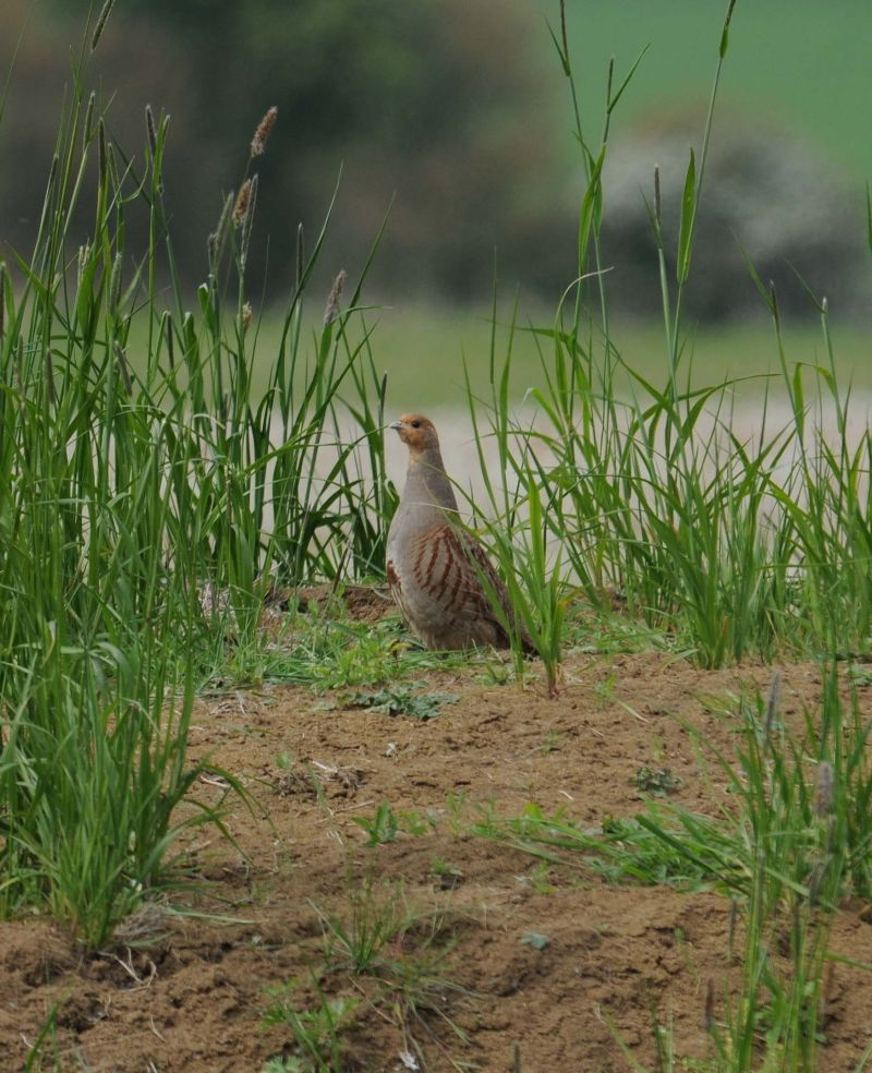 Grey Partridge | South Downs Farmland Bird