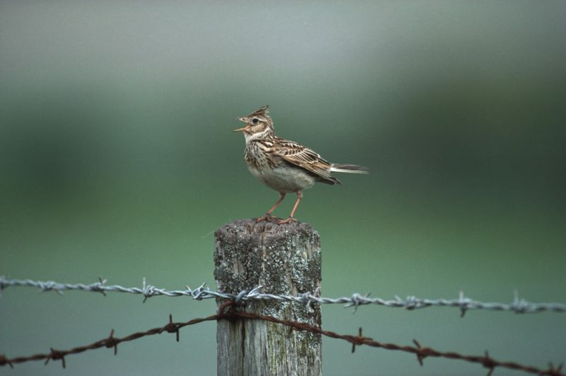 Skylark | South Downs Farmland Bird