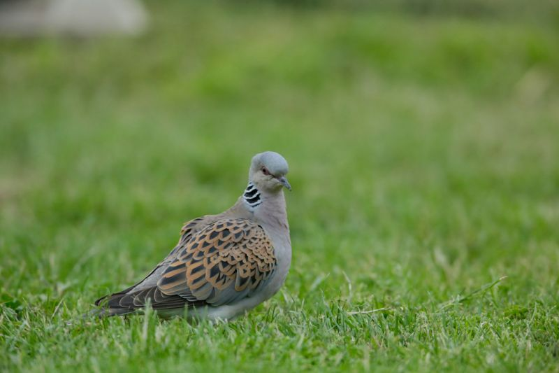 The turtle dove - an iconic British farmland bird