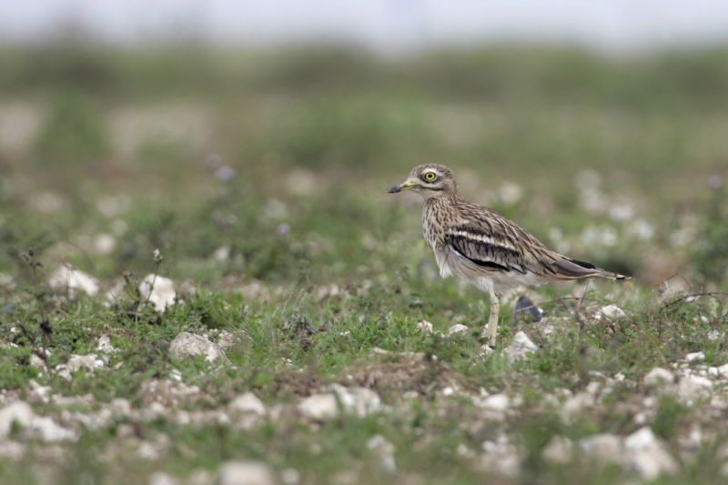 Stone-curlew | South Downs Farmland Bird