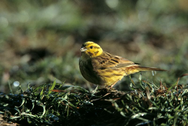 Yellowhammer | South Downs Farmland Bird